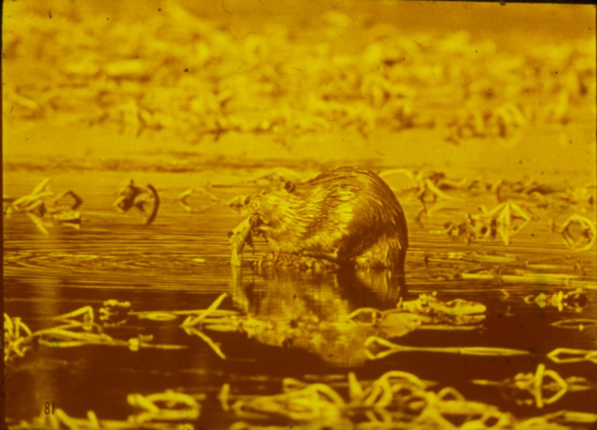 Slide beaver01 2x sm 2x